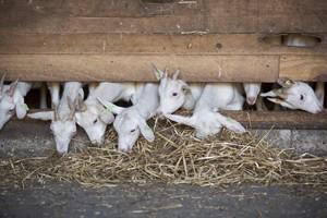 Onze geiten - Saanenhof